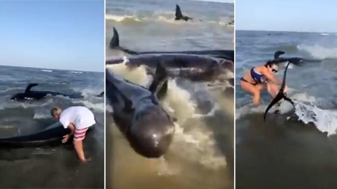 Ponad 50 wielorybów wypłynęło na brzeg. Ratowali je wszyscy