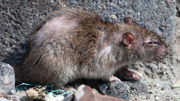 Szczurzy problem na Ochocie Boegh, Flickr (CC BY-SA 2.0)