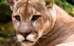 Puma płowa zamieszkuje całą Amerykę od Kanady po Patagonię