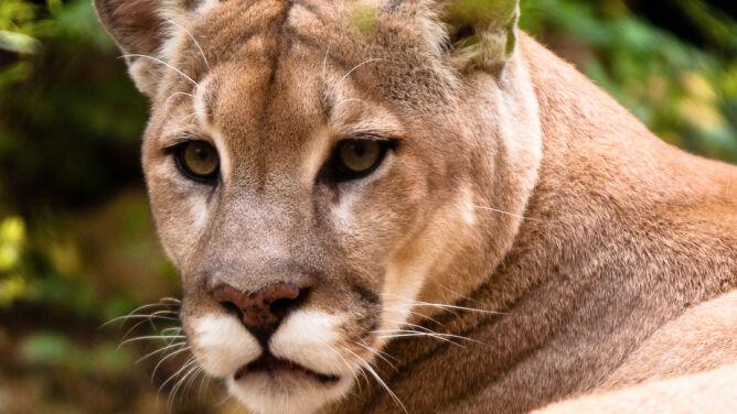 Puma grasuje w Czechach. Policja prosi o ostrożność