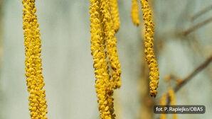 Leszczyna (Corylus)